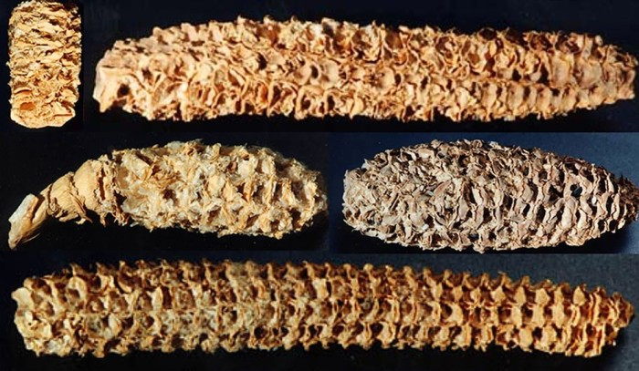 Ancient corn cobs - JVirology - Roossinck paper